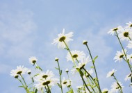 阳光下的白色小花图片(19张)