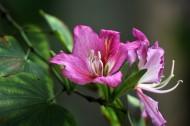 含蓄秀美的紫荆花图片(8张)