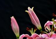 粉色百合花图片(10张)
