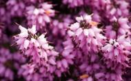 紫色欧石楠花卉图片(10张)