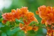 橙色三角梅图片(11张)