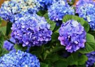 蓝色绣球花图片(16张)