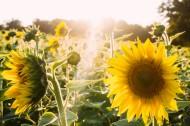 绽放的向日葵图片(14张)