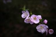 榆叶梅图片(13张)