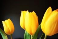 美丽的黄色郁金香图片(11张)