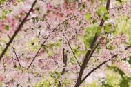 美丽的樱花图片(13张)