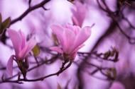 粉色玉兰花图片(9张)