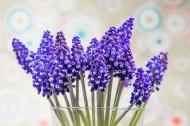 漂亮的紫色葡萄风信子图片(15张)
