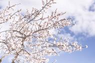树枝上美丽的樱花图片(13张)