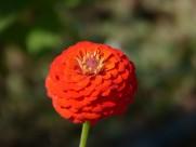 观赏植物之百日菊图片(15张)