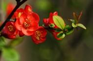 海棠图片(12张)