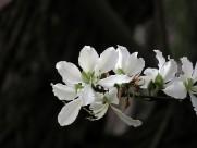 唯美白色紫荆花图片(16张)