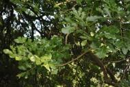 吊瓜树植物图片(4张)