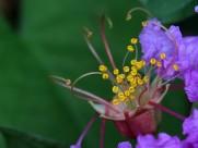 紫薇花蕊微距图片(14张)
