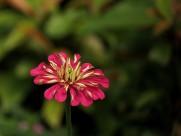 百日草花卉图片(13张)