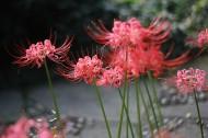 曼珠沙华花卉图片(12张)