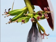 香蕉花图片(7张)