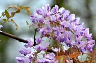 紫藤花图片(9张)
