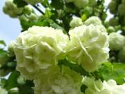 绿色绣球花图片(14张)