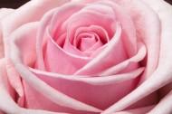 淡雅的粉玫瑰图片(10张)