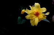 黄色大丽花图片(9张)