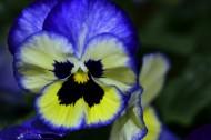 蝴蝶花图片(6张)
