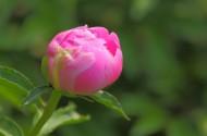含苞待放的芍药花图片(13张)