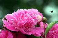颜色艳丽的牡丹花图片(15张)