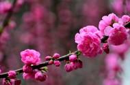 梅花图片(9张)