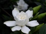 淡雅的栀子花图片(29张)