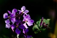 紫色诸葛菜图片(11张)