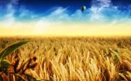 金灿灿的麦子图片(26张)
