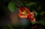 橙色贴梗海棠图片(12张)