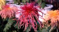 各种颜色的菊花图片(50张)