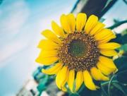 盛开的向日葵图片(14张)