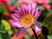 温暖睡莲花卉图片(6张)