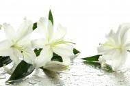 各种各样的百合花图片(15张)