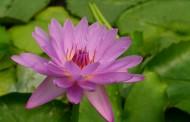 娇艳欲滴的睡莲花卉图片(12张)
