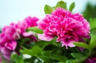 富丽堂皇的牡丹花图片(9张)