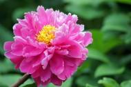 粉色牡丹花图片(10张)