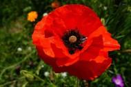 艳丽的红色罂粟花图片(17张)