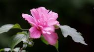 木槿花图片(10张)