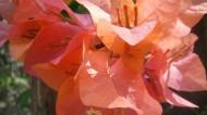 三角梅花卉图片(6张)