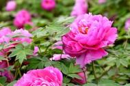 粉红牡丹花图片(10张)