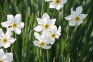 洁白的水仙花图片(15张)