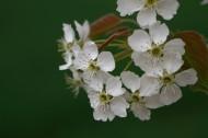 梨花图片(7张)