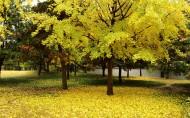 银杏树图片(6张)
