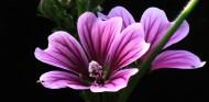 粉色锦葵图片(16张)