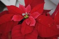 鲜艳的一品红图片(13张)