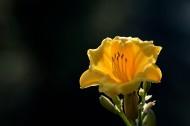 黄色萱草图片(12张)